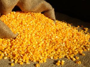 10 curiosidades sobre o milho